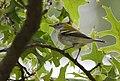Chestnut-sided Warbler (31333061808).jpg