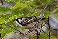 Chestnut-sided Warbler (male) Sabine Woods TX 2018-04-28 07-15-04 (41479720584).jpg