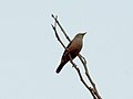 Chestnut-tailed Starling From Vilangan Hills, Thrissur IMG 5830.jpg