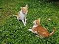 Chiang Mai kitties - 2017-07-09 (004).jpg
