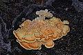 Chicken of the Woods - Laetiporus sulphureus, Point of View, Mason Neck, Virginia (44536583375).jpg