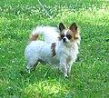 Chihuahualongcoat.jpg