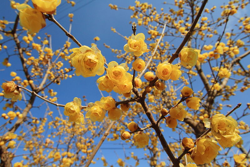 File:Chimonanthus praecox 001.jpg