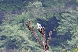 Chinese Sparrowhawk (Accipiter soloensis) (8077158573).jpg