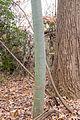 Chinese parasol tree (24893456491).jpg