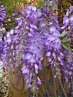 Wisteria sinensis species of plant