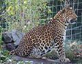 Chinesischer Leopard Panthera pardus japonensis Tierpark Hellabrunn-3.jpg