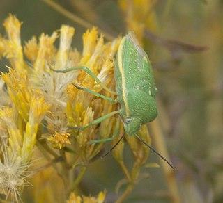 <i>Chlorochroa uhleri</i> Species of insect