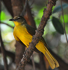 Chlorocichla flaviventris - Yellow-bellied greenbul.jpg