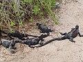 Christmas Iguanas - Marine Iguanas - Espanola - Hood - Galapagos Islands - Ecuador (4870781145).jpg
