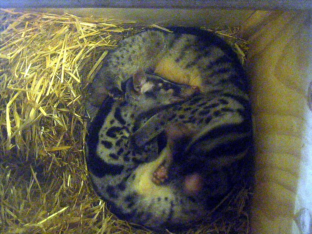 The average adult weight of a Owston's palm civet is 3.27 kg (7.21 lbs)