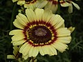 Chrysanthemum from Lalbagh flower show Aug 2013 8330.JPG