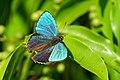 Chrysozephyrus mushaellus 20160609.jpg