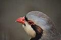 Chukar (Lahore Zoo) by Damn Cruze 3.jpg