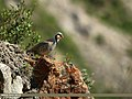 Chukar Partridge (Alectoris chukar) (19505840364).jpg