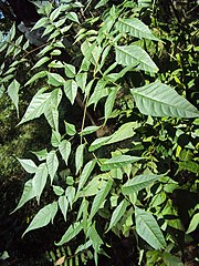 Chukrasia tabularis leaves.jpg