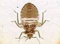 Cimex lectularius (YPM IZ 093688).jpeg