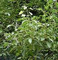 CinnamomumCamphoraIsolaBella.jpg