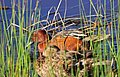 Cinnamon Teal on Seedskadee National Wildlife Refuge (26544458050).jpg