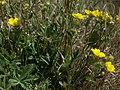 Cinquefoil, Potentilla gracilis var. fastigiata (40741676911).jpg