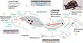 Circuits neurobiologiques de l'instinct sexuel des mammifères.png