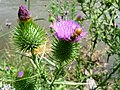 Cirsium vulgare flowers and honey bee.jpg