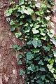 City of London Cemetery ivy on London plane tree trunk bark 1.jpg