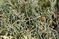 Cladonia sp. (24692628698).jpg