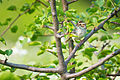 Clay-colored Sparrow (Spizella pallida) (19482161375).jpg