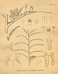 Cleisocentron pallens (as Saccolabium trichromum) - Xenia 2 pl 139.jpg