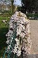 Clematis 'Apple Blossom' in the Jardin des Plantes de Paris 004.JPG
