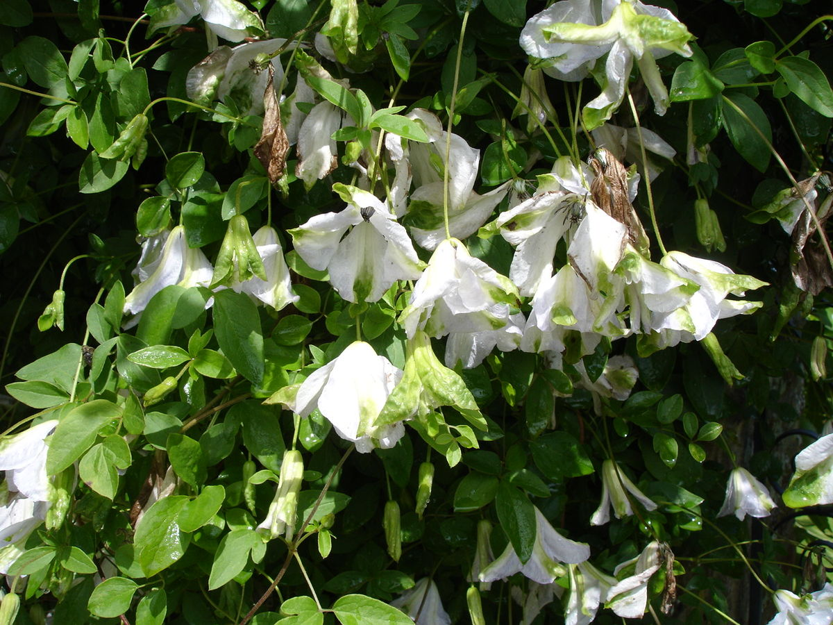 clematis viticella group wikimedia commons. Black Bedroom Furniture Sets. Home Design Ideas