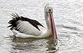 Clontarf Pelican at boat ramp-02and (3364952182).jpg