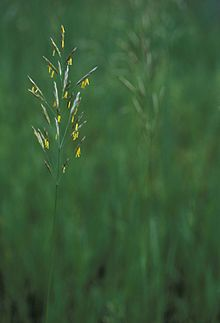 Close view of the yellow flowers of a grass plant.jpg