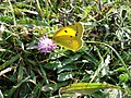Clouded Yellow Butterfly Seaford Head East Sussex - geograph.org.uk - 599372.jpg