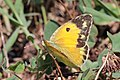 Clouded yellow (Colias croceus) female Italy.jpg