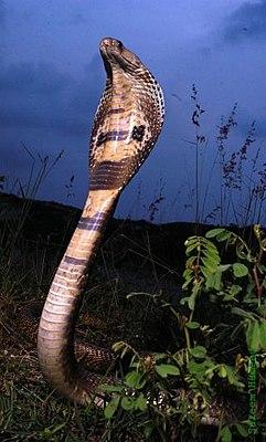 ангольская кобра