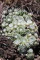 Cobweb Houseleek - Sempervivum arachnoideum (14127861183).jpg