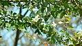 Coccinia grandis (405616085).jpg