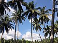 Coconut trees grown thicker seen around this region.jpg
