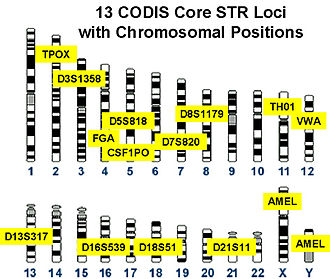 Variable number tandem repeat - Chromosomal locations of the 13 VNTR loci in the CODIS panel.