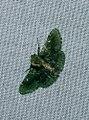 Coenodomus sp. (Pyralidae- Epipaschiinae) (4185144364).jpg