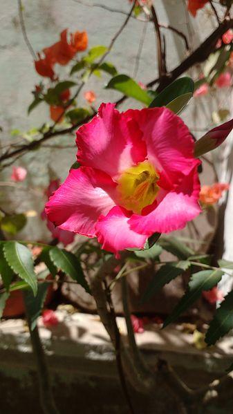 Uma flor de cor predominantemente #D60D58