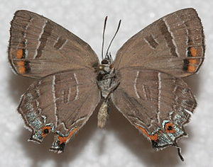 Colorado hairstreak - Underside of the wings