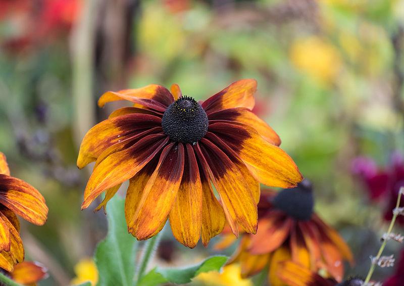 File:Colorful flower at skane (15181956615).jpg