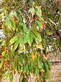 Combretum collinum02.jpg