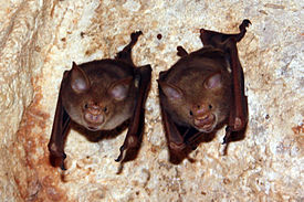 Commerson's leaf-nosed bats hipposideros commersoni.jpg