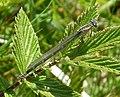 Common Bluet adult female. Enallagma cyathigerum. (35500768961).jpg