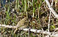 Common Chiffchaff (Phylloscopus collybita)(Thanks to Ph. GENIEZ for the ID) (26064970715).jpg