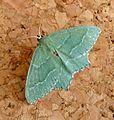 Common Emerald. Hermithea aestivaria - Flickr - gailhampshire (1).jpg